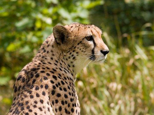 Çita (Aconyx jubatus)