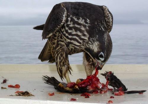 Avını deşen bir Falco Peregrinus doğanı