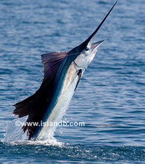 Yelken Balığı (Daha fazla resim için resmin üzerine tıklayın.)