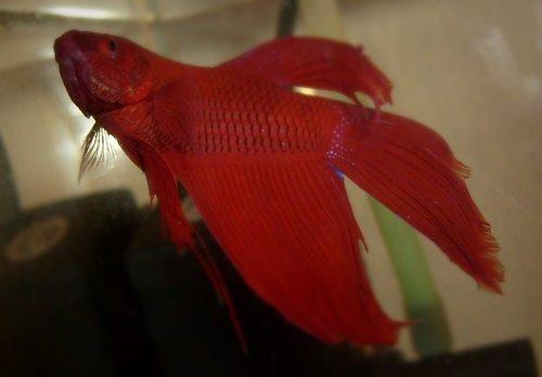 Beta balığım Gültekin (güncel poz :) )