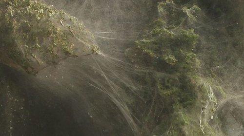 Milyonlarca örümcek.