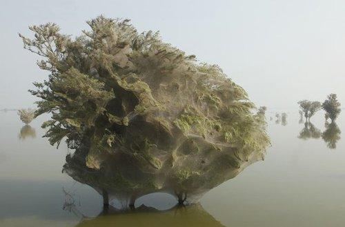 Pakistanda sel sonrası milyonlarca örümcek.